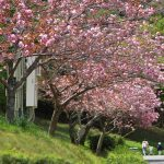 遅れて咲く 桜