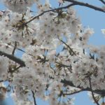 朝日2丁目のさくら・桜