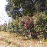 椿(ツバキ)と山茶花(サザンカ)の季節