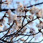 今年も、桜の季節になりました。