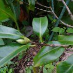 『まんだら椿』に花芽が着きました! 八重桜挿し木にチャレンジは?