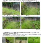 神田神社近くにキジが ♂♀はっきりとしてきました